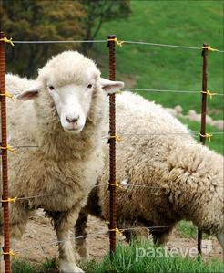 Passover lamb